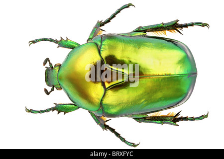 Flower beetle isolated on white background. - Stock Photo