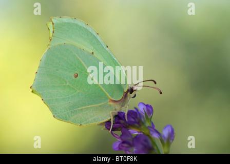 Brimstone butterfly (Gonepteryx rhamni) on Alfalfa flower ( Medicago sativa) - Stock Photo