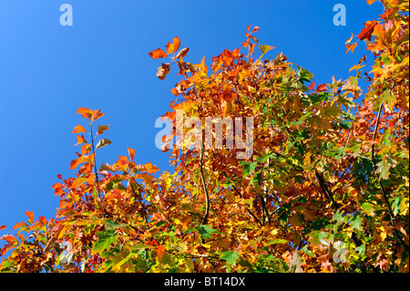 brightly coloured autumn leaves against a deep blue sky - Stock Photo