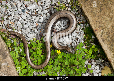 Slow-worm, Anguis fragilis, pregnant female with partially re-grown tail. Wales. - Stock Photo