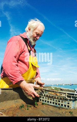 Oyster Fishermen catching Colchester Natives in West Mersea, uk - Stock Photo