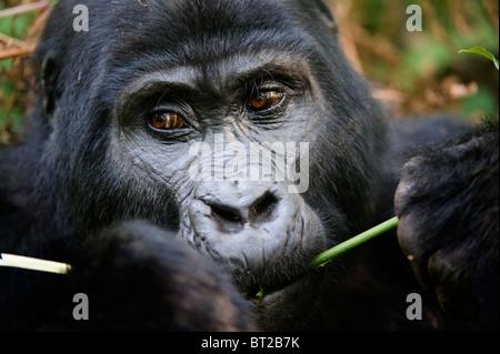The Mountain Gorilla eating. - Stock Photo