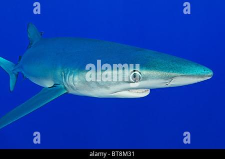 Blue Shark, Prionace glauca, Azores, Portugal, Atlantic Ocean - Stock Photo