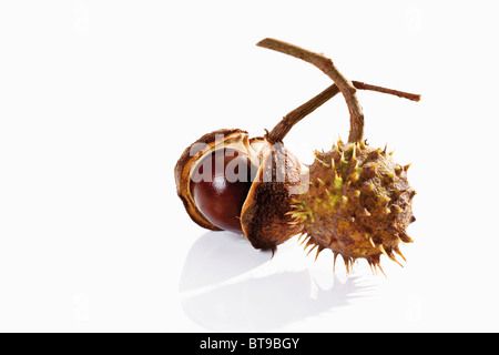 Horse Chestnuts (Aesculus) - Stock Photo