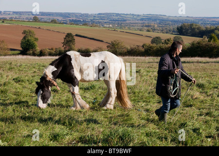 George is a 15 years old cob, he is now enjoying a rest after pulling a horse drawn caravan from Nottinghamshire. - Stock Photo