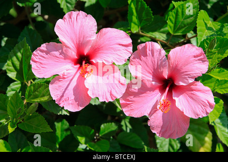 Pink hibiscus flowers in Nerja on the Costa del Sol in the province of Malaga, Spain - Stock Photo