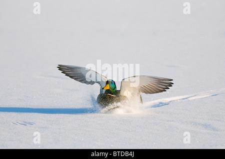 Mallard drake with wings extended lands in snow near Chena River, Fairbanks, Interior Alaska, Winter, Digitally - Stock Photo