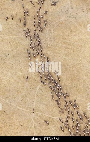 Aerial view of Blue Wildebeest (Connochaetes taurinus) migration - Stock Photo