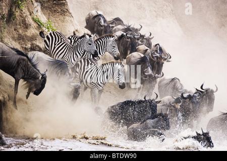 Wildebeest and zebra crossing the Mara River.Masai Mara National Reserve. Kenya - Stock Photo