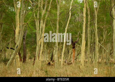 Fever tree forest - Stock Photo