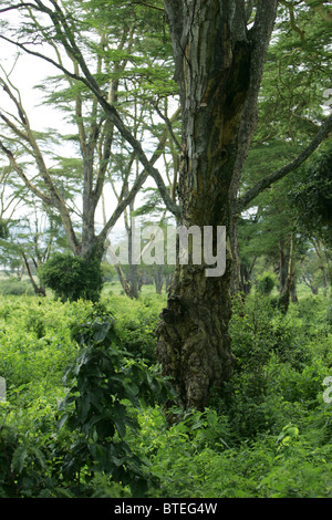 Lerai fever tree forest - Stock Photo