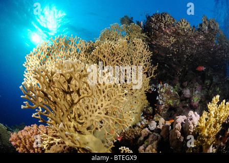Colony of fire coral growing off Hamata coast, Egypt, Red Sea - Stock Photo
