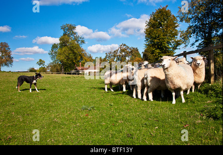 A border collie sheepdog controlling a flock of Romney sheep in a field against the fence - Stock Photo