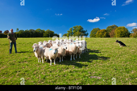 A modern day shepherd working with his border collie sheepdog controlling a flock of Romney sheep in a field. - Stock Photo