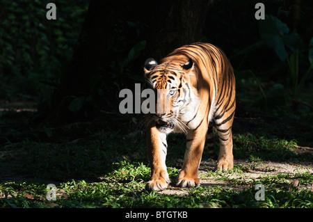 Malaysian male tiger (Panthera tigris malayensis) - Stock Photo