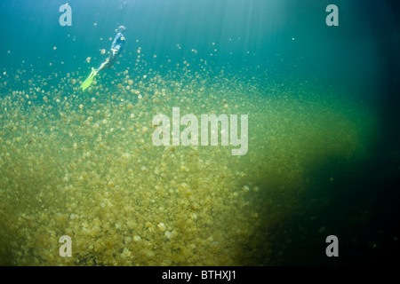 A snorkeler hovers above millions of endemic jellyfish, Mastigias papua etpisonii, in Jellyfish Lake. - Stock Photo
