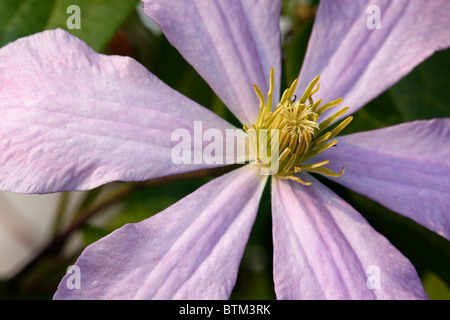 Clematis flower close up. - Stock Photo