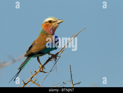 Lilac-breasted Roller on lookout, Kruger Park, South Africa - Stock Photo