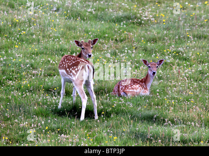 UK Britain Two young Fallow deer in a meadow - Stock Photo