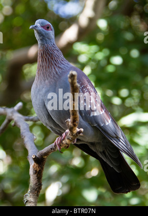 Columba guinea (African rock / speckled pigeon) - Stock Photo