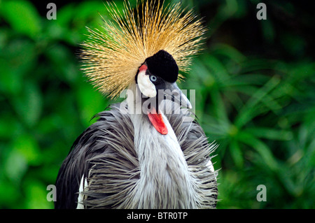 An African-crowned crane. - Stock Photo