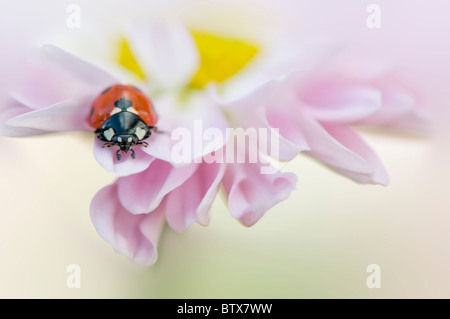 Coccinella septempunctata - Coccinella 7-punctata - 7-spot Ladybird on a pink Daisy flower - Stock Photo