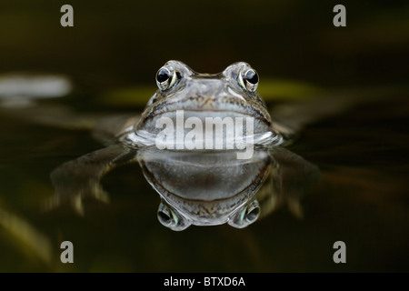 Common Frog (Rana temporaria), in garden pond, Germany - Stock Photo