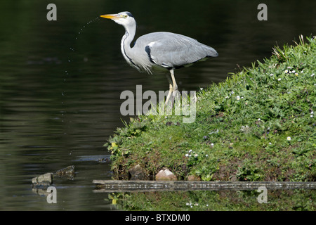 Grey Heron (Ardea cinerea), at side of lake drinking, Germany - Stock Photo