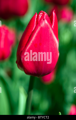 Merry Christmas tulips in the Keukenhof at Lisse the Netherlands. Type of flower: Single Early tulip Name: Merry - Stock Photo