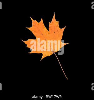 Bright orange yellow fall autumn sugar maple leaf (Acer saccharum) close up macro isolated silo cut-out on black - Stock Photo