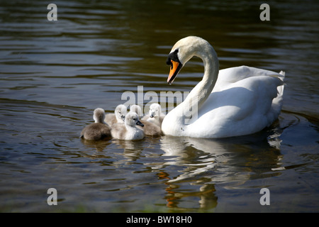 CYGNETS SWAN CASTLE HOWARD NORTH YORKSHIRE ENGLAND MALTON NORTH YORKSHIRE ENGLAND CASTLE HOWARD NORTH YORKSHIRE - Stock Photo