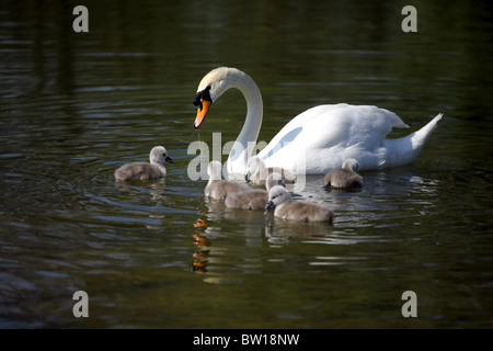 SWAN CYGNETS CASTLE HOWARD NORTH YORKSHIRE ENGLAND MALTON NORTH YORKSHIRE ENGLAND CASTLE HOWARD NORTH YORKSHIRE - Stock Photo