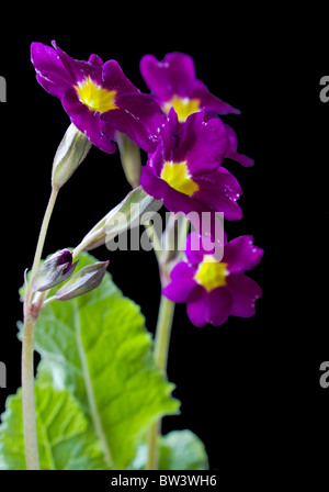 beautiful bright flowers primroses on a black background - Stock Photo