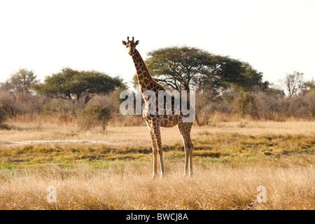 Giraffe in Hwange National Park, Zimbabwe - Stock Photo