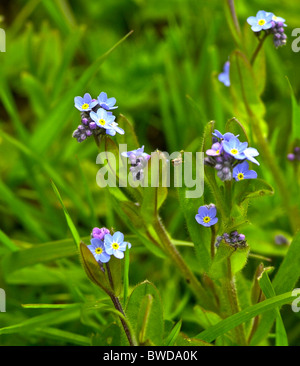 The field forget-me-not is one of our loveliest wild plants - Stock Photo