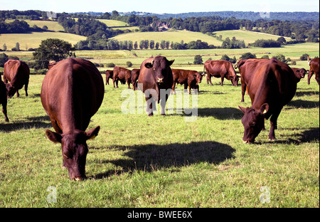 Handsome well fed Sussex beef cattle and a bull grazing valley fields in summer country landscape near Brede East - Stock Photo