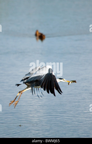 A Grey Heron flies across a freshwater lake with a fish that it was caught, while two ducks look on. - Stock Photo