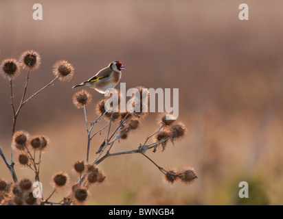 Backlit Goldfinch perched on top of thistle heads - Stock Photo