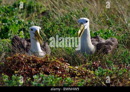 Waved Albatross courtship display - Stock Photo