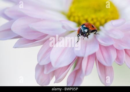 A Seven Spot Ladybird - Coccinell-7-punctata resting on the petals of a pink daisy flower - Stock Photo