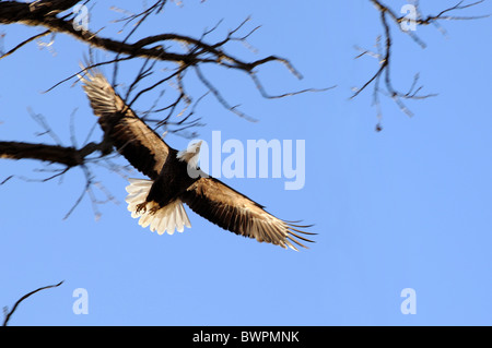 Bald eagle in flight over blue sky - Motion blur on wings - Stock Photo