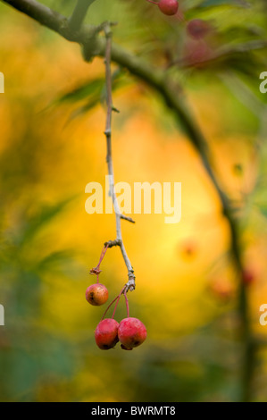 Red berries remaining on a branch in autumn - Stock Photo