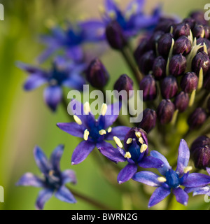 A single flower head of Scilla peruviana - Cuban Lily  or Portuguese peruvian Squill - Stock Photo