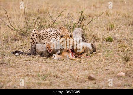 Cheetah (Acinonyx jubatus) mother with cubs, feeding on Thomson's Gazelle (Gazella thomsoni) fawn, Masai Mara, Kenya - Stock Photo
