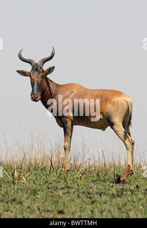 hartebeest hartebeests africa african ethiopia ethiopian subspecies herbivore herbivores mammal mammals antelope - Stock Photo
