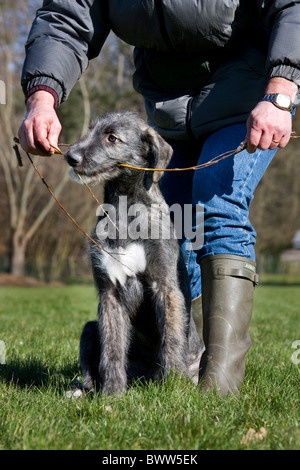Irish wolfhound (Canis lupus familiaris) pup playing with stick in garden - Stock Photo