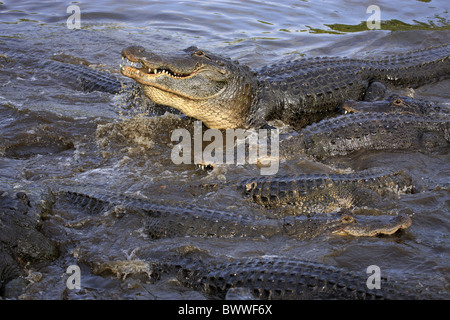 fressend - feeding Gruppe - group im Wasser - in water alligator alligators reptile reptiles crodilia crocodilian - Stock Photo