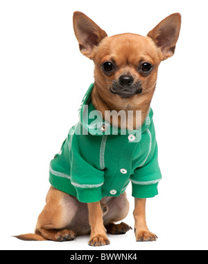 Dressed mixed-breed dog, sitting in front of white background - Stock Photo