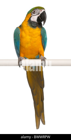 Blue and Yellow Macaw, Ara Ararauna, perched on pole in front of white background - Stock Photo