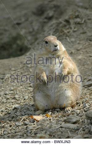 Prairie Dog (Cynomys Ludovicianus) in Beardsley Zoo Connecticut - Stock Photo